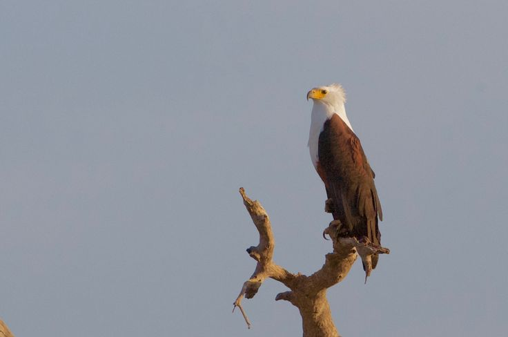 Fish eagle watching in anticipation - Lonely fish eagle waiting over the chore for the day's meal to be taken.....