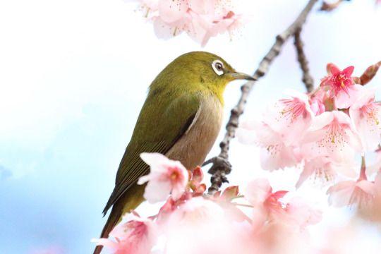 319:「新宿御苑の桜、梅、桜の開花の時期にメジロがやってきます。 都内ではめったにお目にかかることが出来ないと思いますがケータイでも撮影できるほど近くで撮影することが出来ます。」@新宿御苑