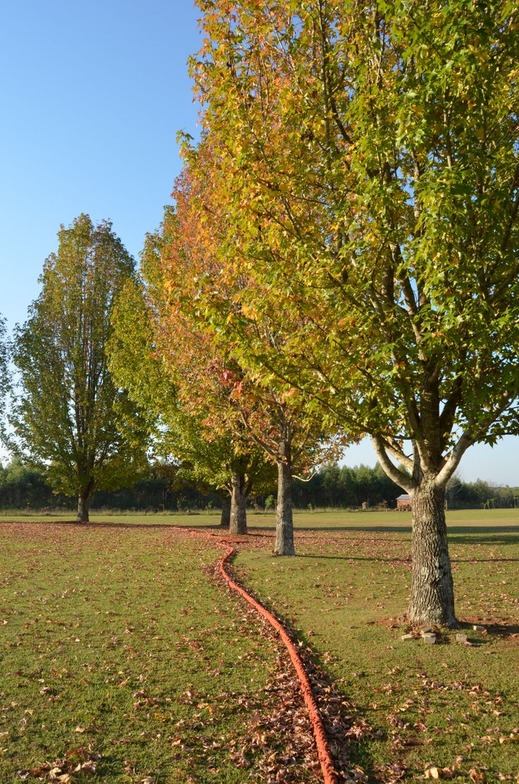 Autumn leaves falling from plane trees at Uplands by Rosemary Hall