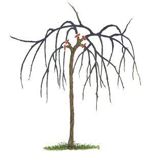 Растения с поникающей кроной - обрезка
