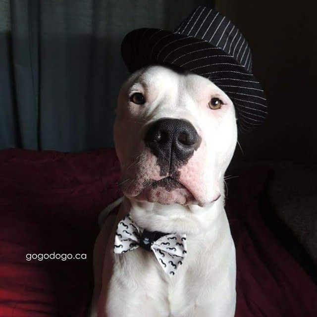 Image result for Dogo Argentino