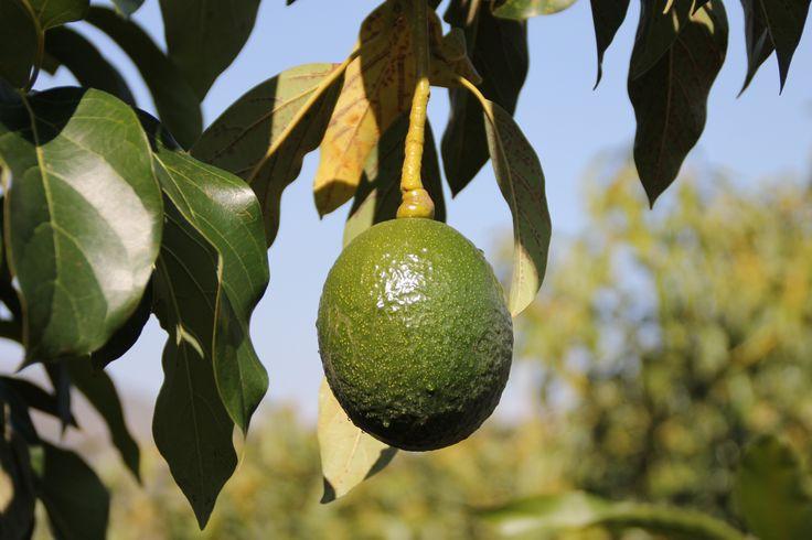 Andalusie. Vruchtbare grond en oneindig veel avocado-bomen. Kom met ons mee op Tour door de binnenlanden. Een echt spektakel. Sunshine Tours laat je het mooiste van het land beleven.