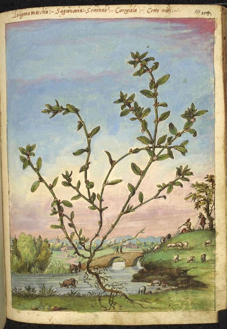 Full-page botanical painting of Galium cruciatum' (Mugwort) with a river, two men crossing a bridge, an ox drinking, and sheep grazing in the background.   Dioscorides' 'De re medica', by Pietro Andrea Mattioli, Physician of Siena, assembled and illustrated by Gherardo Cibo—ca. 1564-1584.