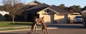 Video of Kangaroos Boxing in the Street | Trending Now - Yahoo News - Informative & great music.