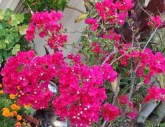 How to Grow And Care Bougainvillea
