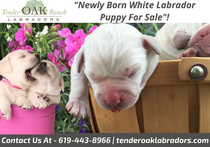 Newly Born White Labrador Puppy For Sale