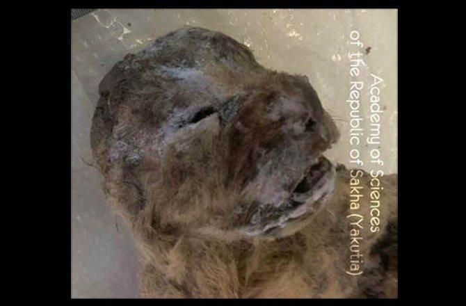 The bodies of two extinct cave lion cubs from at least 10,000 years ago have been recovered in Russia's Sakha Republic, almost perfectly preserved in permafrost, The Siberian Times reports.  The cubs (Panthera leo spelaea) would have grown up to resemble modern lions. The species lived during the Pleistocene and were widespread in Europe, Asia and northwestern North America.  It's likely they preyed on animals such as bison, juvenile or hurt mammoths, deer, and horses.