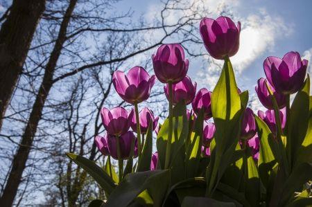 *** Tulipas roxas *** - flores, flores, roxas, natureza, tulipas