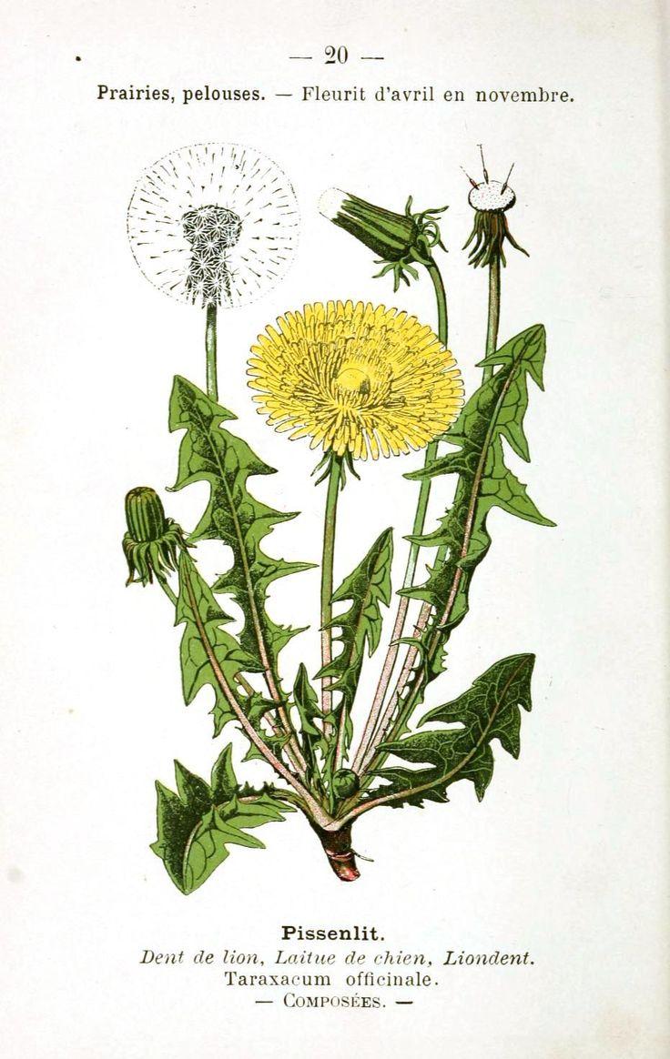 Botanical - Flower - Dandelion