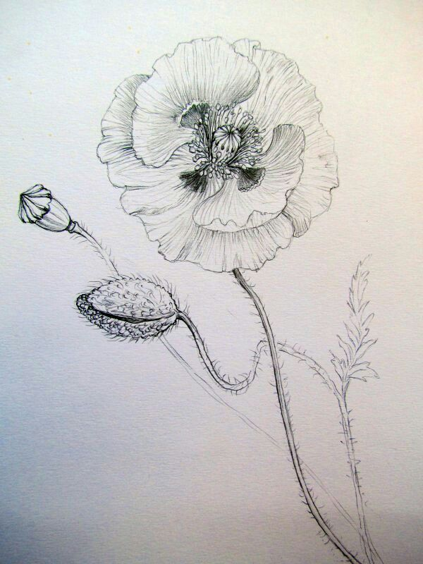 Papaver botanical illustration by Gábor Emese Hungarian artist. gaboremese.hu