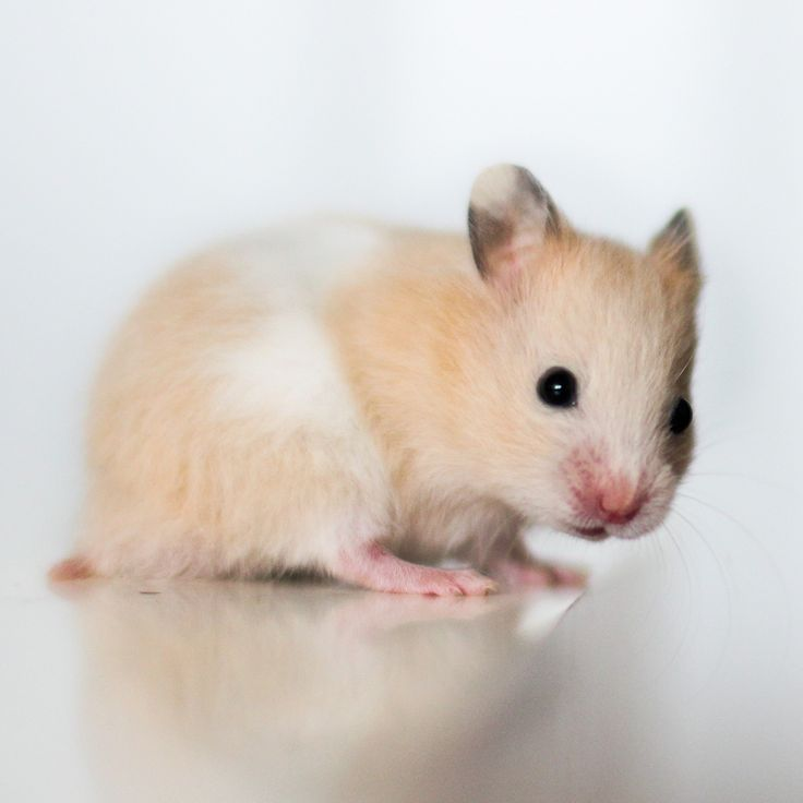 Askur, Black eyed Cream Banded SH Syrian hamster | Syrian ...