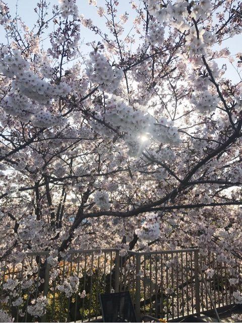 海老さまの実家の桜