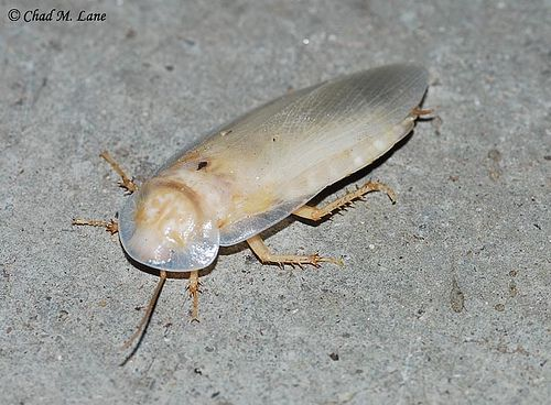 How Important the Difference of Albino Roaches and White Cockroaches Is? You went to the kitchen and turned the lights on and had the coffee maker set ready. For sure, this will be a beautiful and rare experience. While you do these stuffs, you unexpectedly have seen an elusive albino cockroach that makes its way into the sink.  If you're fast enough, then you can catch it immediately under your glass. If not, it is possible for them to escape.