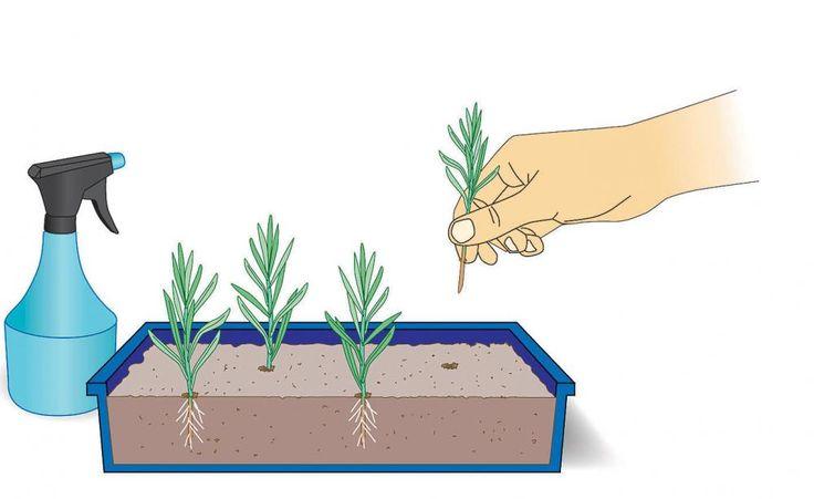 Stecklinge in Anzuchtschalen stecken    Befüllen Sie eine Anzuchtschale mit einem Gemisch aus einem Teil grobem Sand und einem Teil Anzuchterde. Feuchten Sie das Substrat gut an und verdichten Sie es vorsichtig mit einem kleinen Holzbrett. Die Stecklinge werden bis zum Blattansatz senkrecht in die Erde gesteckt. Um den Anwachserfolg zu erhöhen, können Sie sie vorher kurz in eine Schale mit Bewurzelungspulver (zum Beispiel Neudofix) stecken. Sprühen Sie die Stecklinge mit einem Zerstäuber…