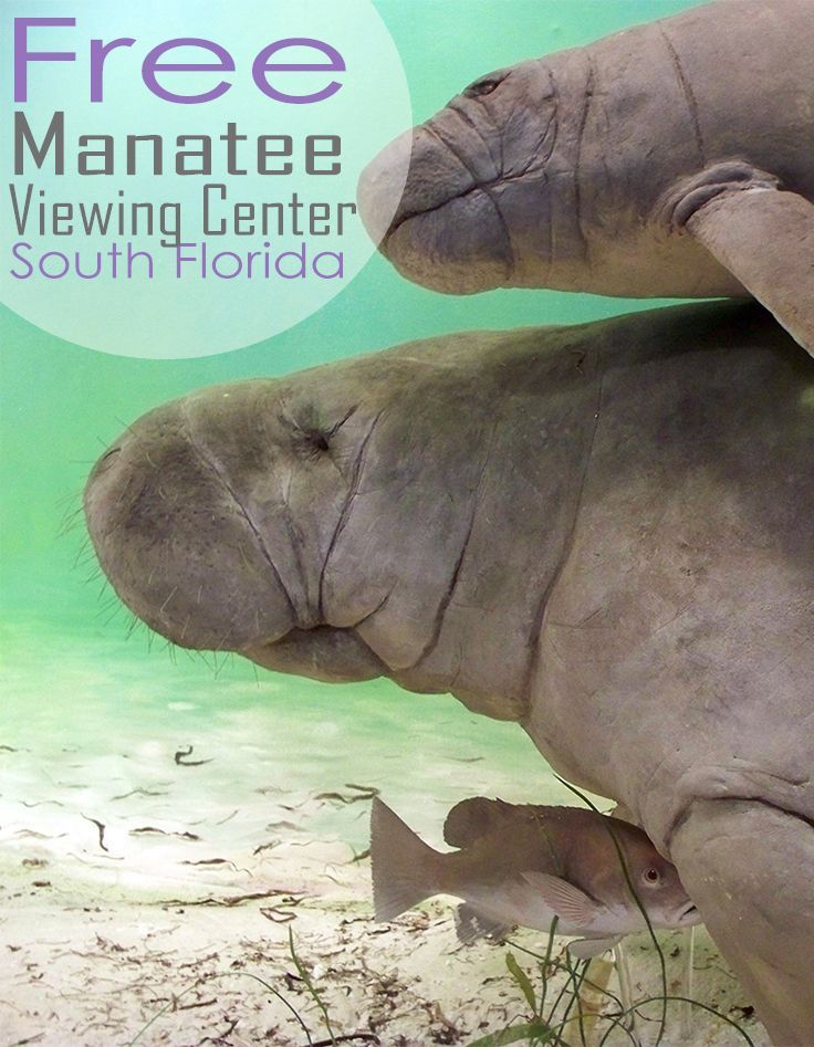 Fun & Free: Manatee Viewing Center in South Florida