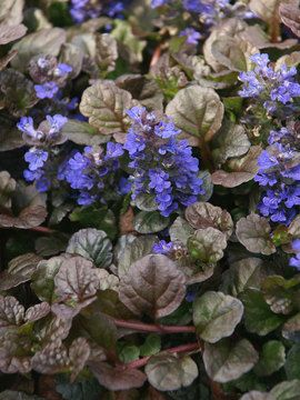 Carpet Bugle  Ajuga   short ground cover with color, very hardy    zone 3-9