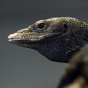 A large lizard, the black tree monitor gets its name from its all-black skin.