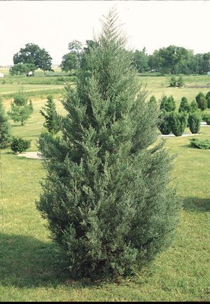 Eastern Red Cedar.  For height. Oh yeah, baby.  The plan is coming together.
