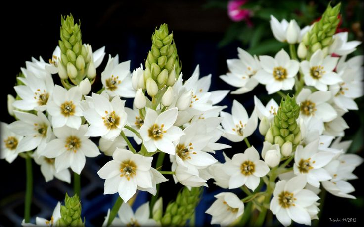 Ornithogalum thyrsoides, chinkerinchee, star-of-Bethlehem, wonder-flower