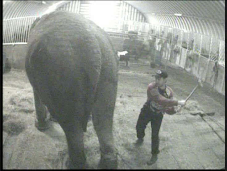 circus animal cruelty Animal rights activists claimed a major victory sunday after ringling bros and barnum & bailey circus said it would halt its show in may after 146 years.