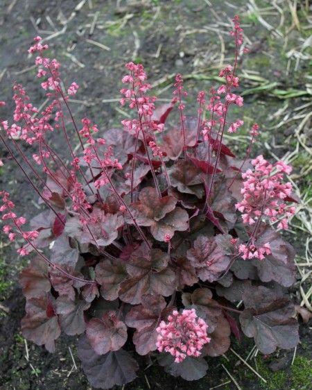 Heuchera-Cassis Het bijzondere aan deze plant is het blad, donkerrood en de bloemen zijn prachtig roze/rood. De standplaats is half in de zon/schaduw en geeft bloemen in de periode mei/juni. De bloemen worden wel zo`n 60 cm hoog terwijl het blad ongeveer 25 cm hoog wordt.