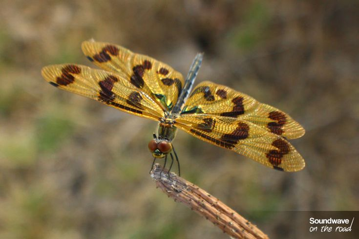 Graphic Flutterer Dragonfly, Northern Territory, Australia