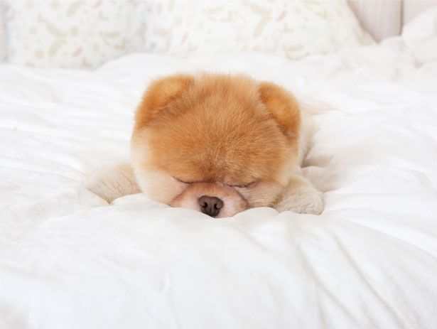 Boo: The world's cutest dog! I would love to snuggle up with this little one!