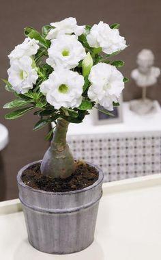 Die Wüstenrose 'Schneeweiß' trägt gefüllte weiße Blüten