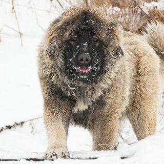 """Er wird nicht umsonst umgangssprachlich """"Bear Dog"""" genannt: Der Kaukasische Owtscharka, oder Kaukasische Schäferhund, ist eine Hunderasse aus der ehemaligen UdSSR, der einem Erwachsenen gut und..."""