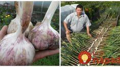 Pre tých, ktorí idú sadiť jesenný cesnak: Poradím vám môj zlepšovák, ako mať na jar najväčšiu úrodu spomedzi susedov!