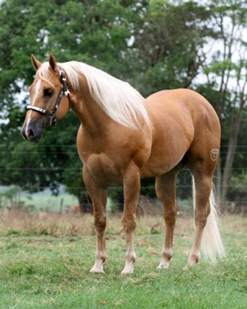 Animal Care: AMERICAM QUARTER HORSE