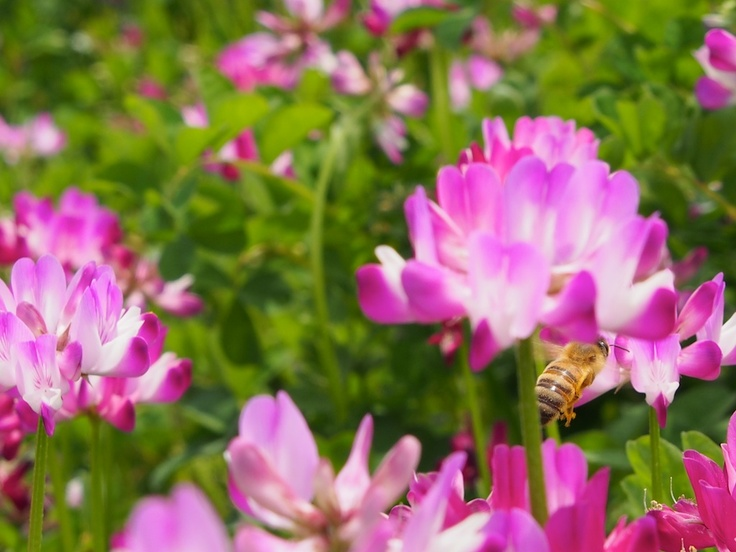 Chinese Milk vetch and a bee.