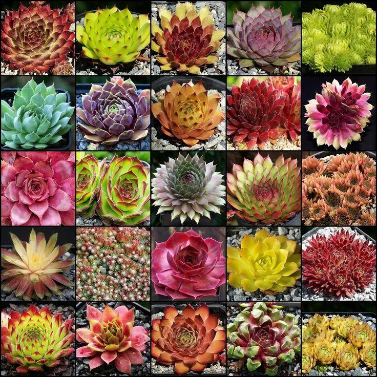 Sempervivum 20 der schönsten Sorten, von namhaften Züchtern | Garten & Terrasse, Pflanzen, Sämereien & Zwiebeln, Pflanzen, Bäume & Sträucher | eBay!