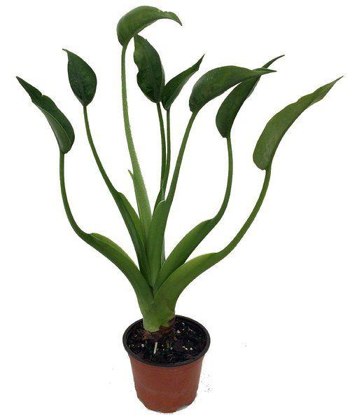 "Tiny Dancers Elephant Ear Plant - Alocasia - Buddha Palm - 4"""" Pot"