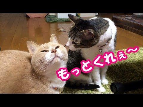 お父ちゃんがブシブシを少ししかくれないから拗ねる2匹の猫【猫日記こむぎ&だいず】2017 11 25