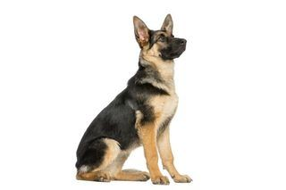 The Best Dog Food for German Shepherds | eHow
