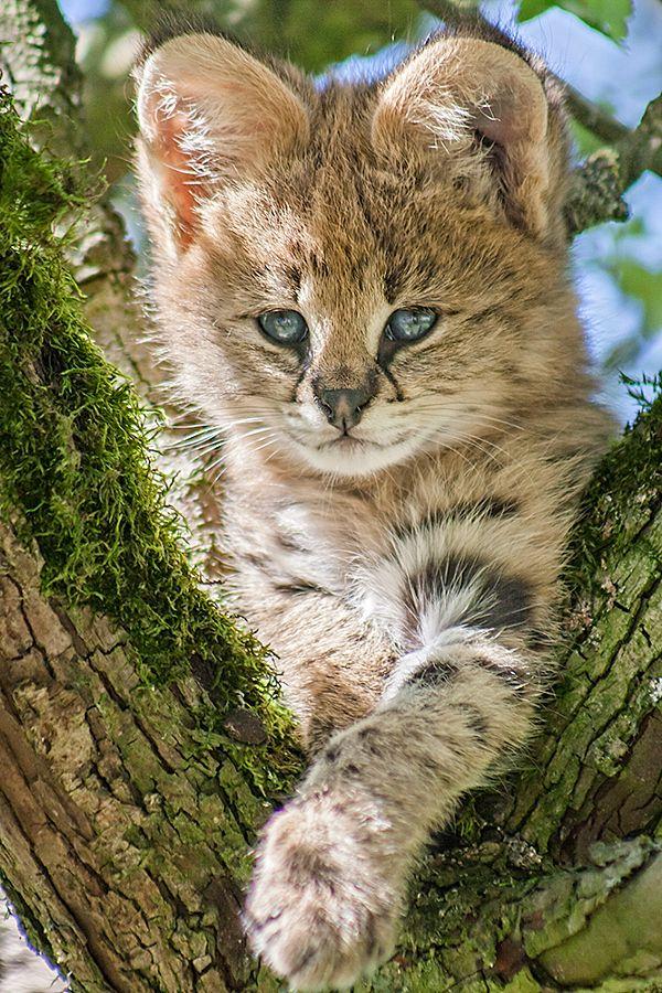 Photo: Johannes Wapelhorst-Serval Kitten