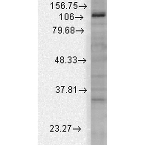 Mouse Anti-Slo3 Potassium Channel Antibody [S2-16] used in Western Blot (WB) on Rat brain membrane lysate (SMC-326)