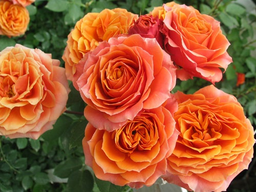 Orange Garden Rose 64 best garden roses images on pinterest | garden roses, pink