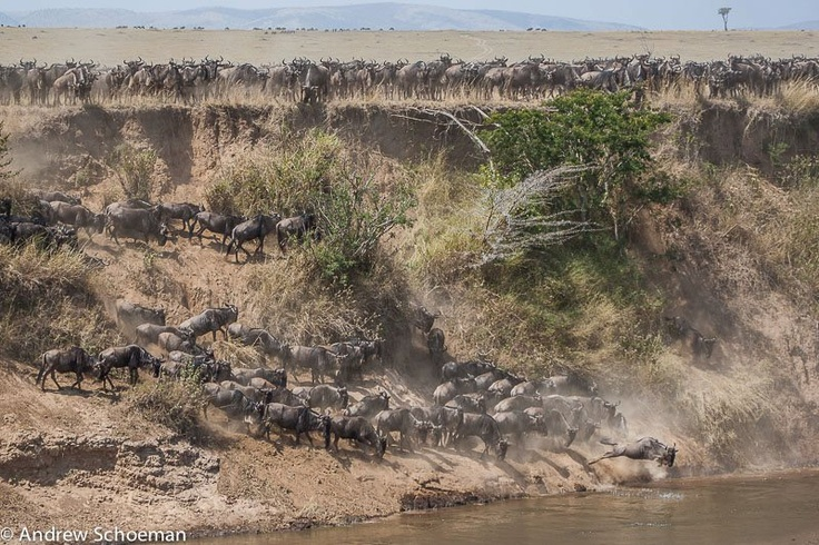 """""""The First to Go"""" A Herd of Wildebeest that had gathered on the banks of the Mara River in the Masai Mara, waiting for a member of the herd to Start the crossing, after some time one Wildebeest decided it was time and jumped into the river. By: Andrew Schoeman."""
