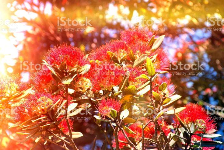 New Zealand Native Metrosideros Excelsa (Pohutukawa) in Flower royalty-free stock photo