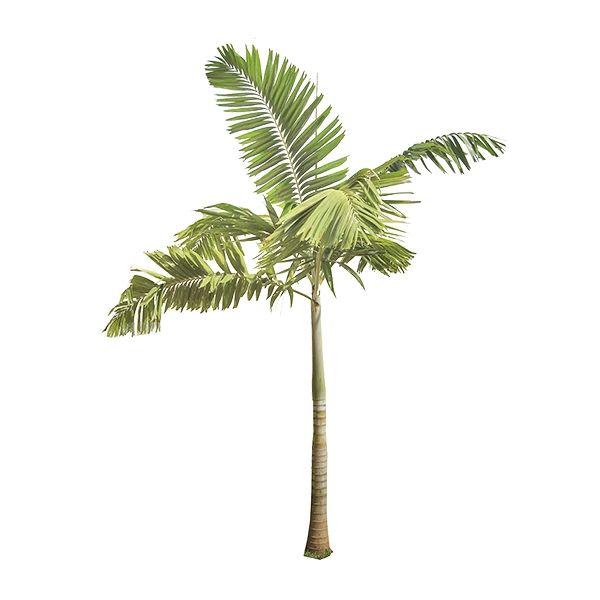 Palmeira Solitária - Ptychosperma elegans  Spagnhol Plantas Ornamentais