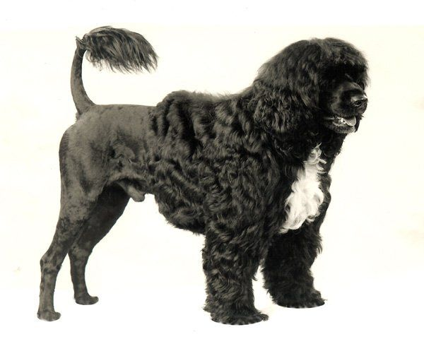... Dog | Pinterest | Portuguese Water Dog, Portuguese and Dog Breeds