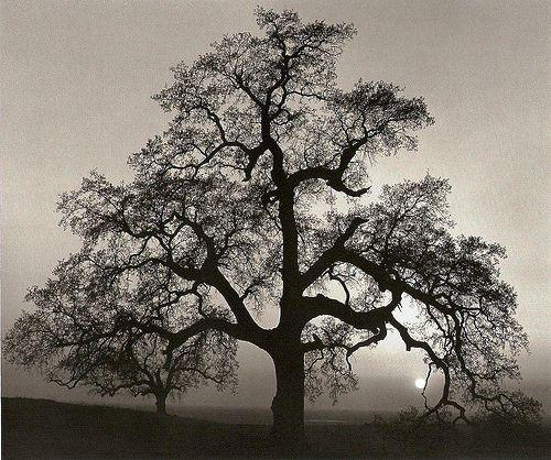 """""""Oak Tree, Sunset City, California,"""" Ansel Adams"""