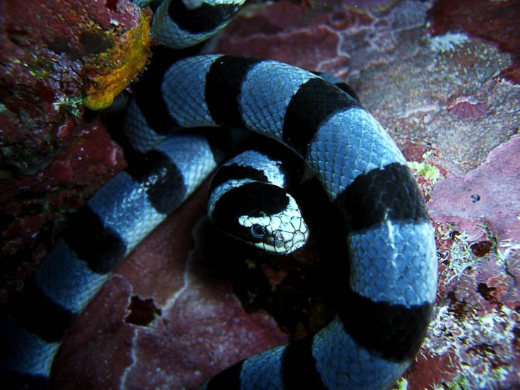 Banded Sea Snakes Banded sea snake laticauda