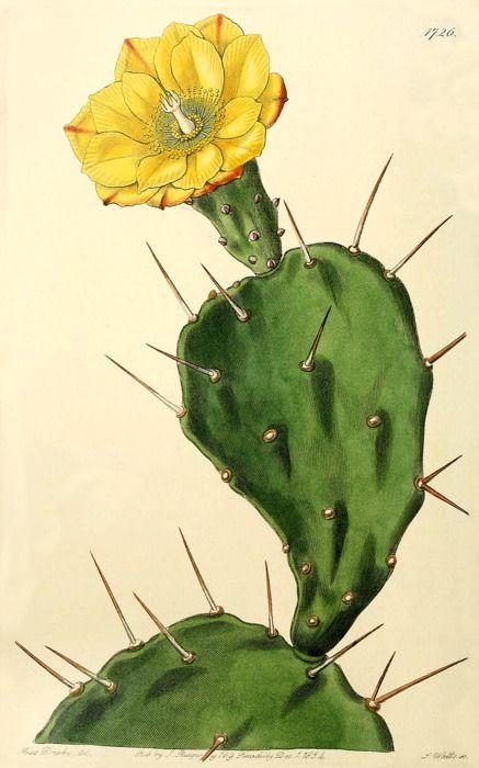 1834,Opuntia vulgaris, or Prickly Pear Cactus.
