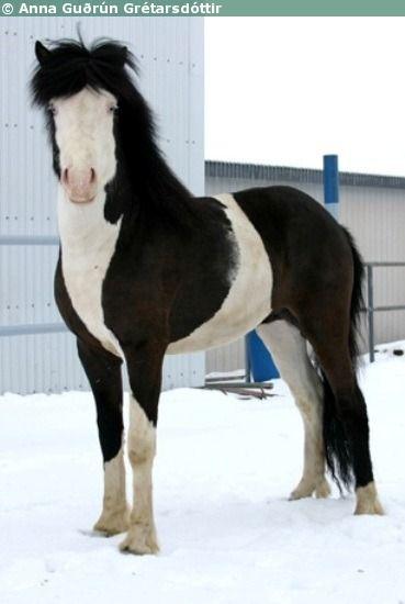 black splash white - Icelandic Horse stallion Maski frá Akureyri