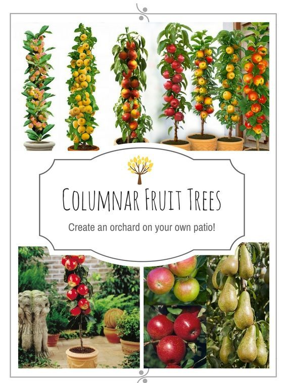 Do you think that because you live in a city or urban area you cannot enjoy fresh fruit from your own trees? Thankfully there are hybrid species that are able to use small areas due to tall crowns, rather than broad spreading branch