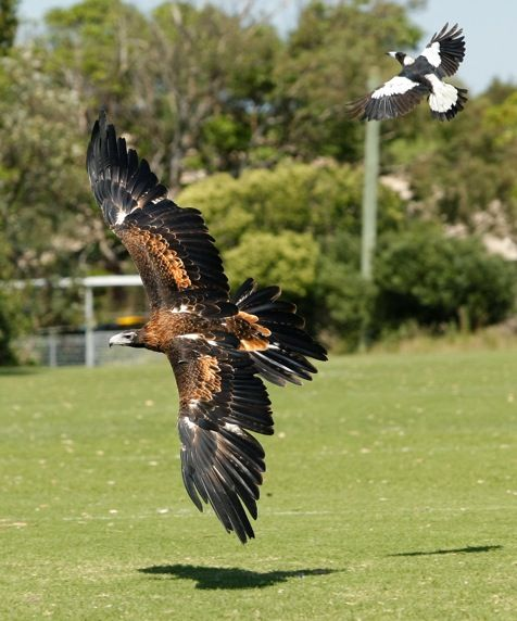 Wedge tailed eagle - now the magpie is not a small bird!