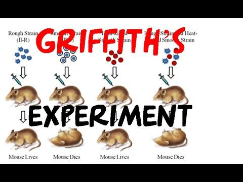 Griffith experiment | bacterial transformation experiment